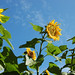 Sonnenblumen (Sunflower)