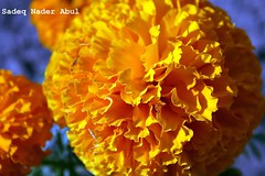 (Sadeq Nader Abul) Tags: flower nature yellow canon eos nader    naturelovers sadeq     abul     400d     wonderfulworldofflowers