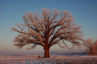 frosty bur oak