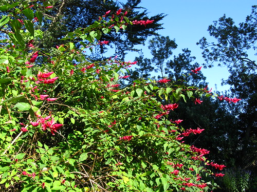 Salvia wagneriana