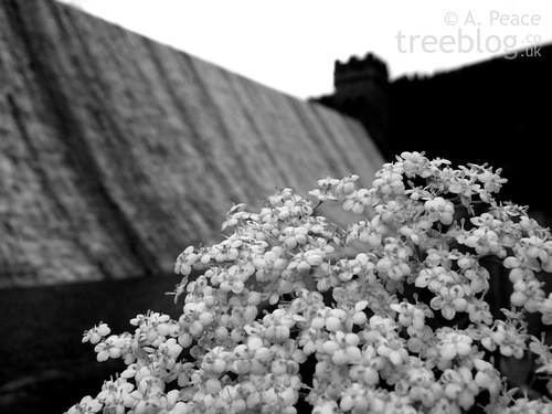 elder inflorescence in front of Derwent Dam