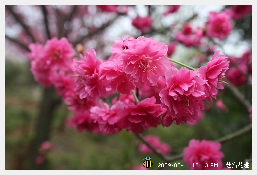 20090214三芝賞花趣 (6)