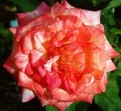 pinkishrose (margaretpagewhite) Tags: flowers roses lexingtonky daddyshouse