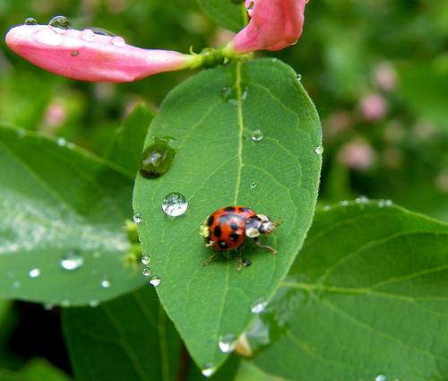 Garden After The Rain - Ladybug III