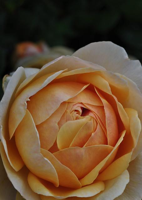 Rose Charles Darwin