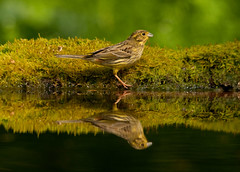 Yellowhammer and reflection, Hortobagy, Hungary (www.kevinoakhill.com) Tags: park reflection bird water pool beautiful birds yellow hammer photography reflecting mirror nikon kevin hungary tour image photos oakhill wildlife sigma hide national april mm magyar shetland debrecen saker yellowhammer hides 2011 hortobagy 150500 d300s kevinoakhill sakertour
