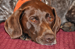 083 Bailey the Little GSP (The_Little_GSP) Tags: dog pointer germanshorthair gsp germanshorthairedpointer littlegspphotography