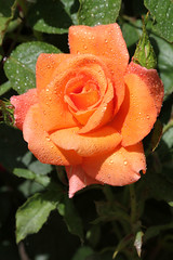 Coule verte Jardin des plantes 29.05.11 027 (MUMU.09) Tags: roses orange rose photo foto orangeflower bild  imagem   flori rosaceae        flordenaranja flordelaranjeira fleurorange  fiorearancione rosaces   orangeblomma  portakaliei    apelsnuziedu narancsvirg  orange naranasticvijet  orangeblm  apelsinied pomaraczowykwiat orannacvet orangemaua  oranovkvtina    orangehoa mumu09
