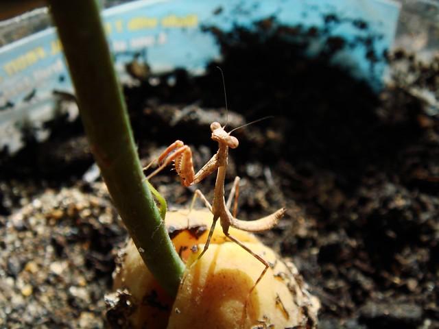 Praying Mantis to the Avocado Tree