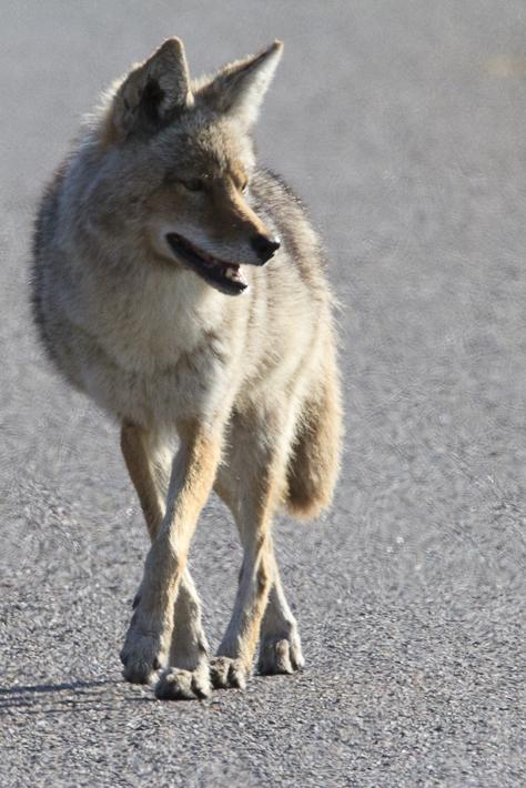061311_coyote01