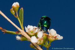 Metallic wasp (kasia-aus) Tags: flowers macro green insect march bush wasp feeding metallic australia frombehind canberra cuckoo dunlop