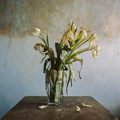 Welke Tulpen (Konrad Winkler) Tags: 6x6 kodak blumen stilleben tulipa tulpen yashicamat124g mittelformat liliengewächs ektar100