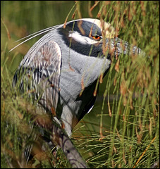 Bihoreau violac  -  Yellow-crowned night-heron (LouisY55) Tags: bird birdwatching oiseau photoquebec lysdor photognick