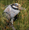 Bihoreau violacé  -  Yellow-crowned night-heron (LouisY55) Tags: bird birdwatching oiseau photoquebec lysdor photognick
