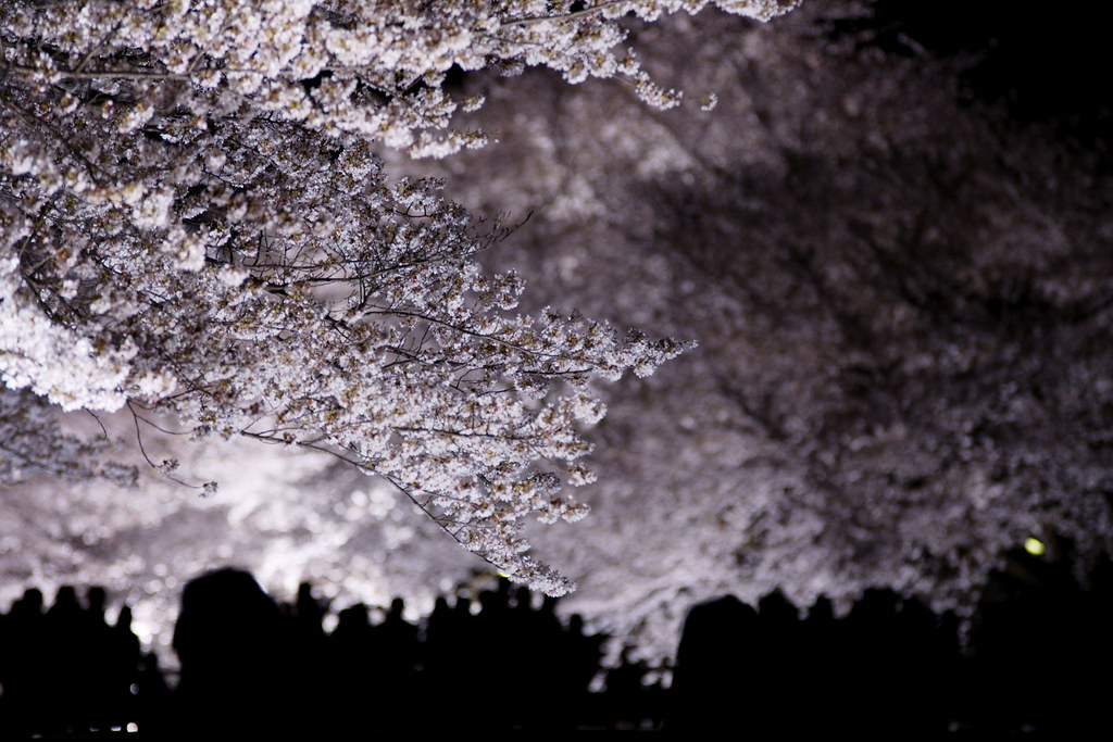 sakura light-up 12