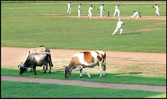 50-50 cricket (Ragesh Vasudevan) Tags: cows stadium kochi greengrass kottayam eatinggrass ragesh cricketpractice