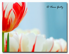 Stature (Gooty) Tags: flowers blue red flower macro closeup background tulip stature soe excellence naturesfinest supershot mywinners colorphotoaward ultimateshot infinestyle alemdagqualityonlyclub venugooty