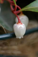 チェッカーベリーの花