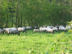 "Sheep • <a style=""font-size:0.8em;"" href=""http://www.flickr.com/photos/48277923@N00/2620359311/"" target=""_blank"">View on Flickr</a>"