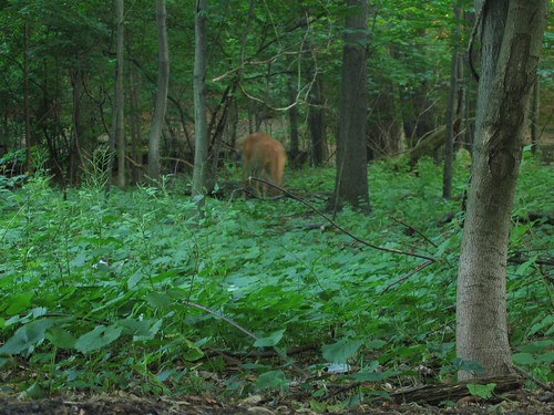 White tailed deer eating leaves