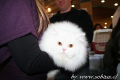 * Ultra White cat (sebass.cl) Tags: onexplore kissablekat