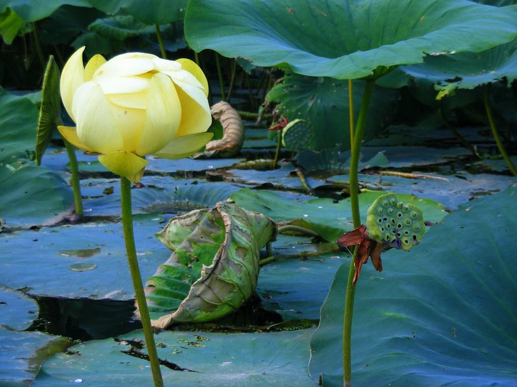 Cincinnati Burgoo American Lotus At Cowan Lake