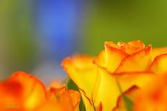 *Roses* (plum-blossom) Tags: flowers orange macro rose yellow flickr bokeh excellence bej macromarvels