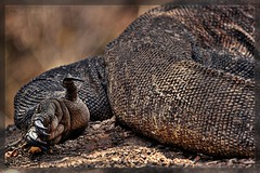 Komodo dragon foot