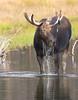 Moose Drool (Geyser Gary) Tags: searchthebest moose september 2008 grandtetonnationalpark moosedrool8828