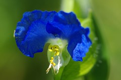 Dayflower (bluehazyjunem) Tags: fall early 2008 dayflower golddragon abigfave  theinstituteofnaturestudynationalsciencemusueum 5mikesep