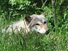 Wolf (darrups) Tags: wisconsin zoo wolf canine fathersday wi oshkosh winnebagocounty canonpowershots3is menominiepark