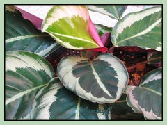 Calathea rosea picta cv. 'Eclipse' at our courtyard, November 2006