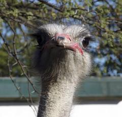 Julia the ostrich