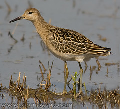 Combatente (Sparkyfaisca) Tags: bird portugal birds zeiss birding birdsinportugal avesemportugal aves ornithology digiscoping birdwatching ruff digiscope philomachuspugnax sparkyfaisca ornitologia combatente diascope