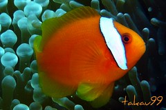 Tomato Clownfish - Kerama Islands, Okinawa Japan (_takau99) Tags: ocean trip travel sea vacation orange holiday fish macro uw water topv111 japan lumix japanese islands topv555 asia underwater scuba diving topv222 september panasonic explore pacificocean clownfish anemone tropical scubadiving okinawa topf10 tokashiki anemonefish 2007 kerama nozaki   philippinesea eastchinasea amphiprion frenatus tomatoclownfish amphiprionfrenatus takau99 pomacentridae tokashikiisland keramaislands dmcfx30 dmcfx sawasdeedive  vosplusbellesphotos amphrion