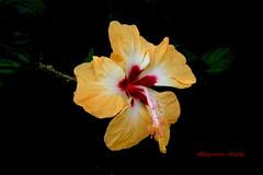 Hibisco/Hibiscus/Cayena (Altagracia Aristy Sánchez) Tags: flower flor hibiscus hibisco dominicana tropic caribbean antilles laromana cayena caribe repúblicadominicana trópico antillas fujif40 dominicanrepúblic altagraciaaristy