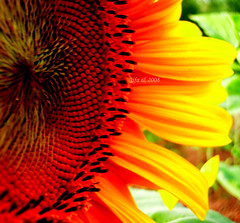 Ayiei der ki ;...ExpOct 5, 2008 #439 (*lkbahar arks*) Tags: flowers flower nature yellow turkey trkiye fourseasons sunflowers flover tournesol iek bcek sivas sonbahar ayiei abigfave grouptripod ubu