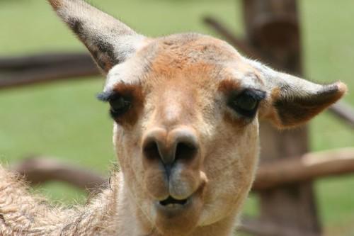 Latin America 187 Blog Archive 187 Awana Kancha Llama Vicu 241 A