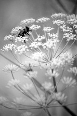 Bumblebee in Butterfly Bush # 3 (rob_valine) Tags: flowers blackandwhite bees insects kodaktmax100 yashicafx3super2000 blackwhitephotos eliteimages spiritofphotography wonderfulworldofflowers awesomeblossoms doubledragonawards vivitarseries12890mmf2835lens tiffenyellow8filter robvaline