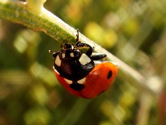 Face To Face With Ladybird !! (Iranian Roseate ...) Tags: wild nature beautiful beauty bug iran best ladybird irannature naturebeauty salmas beautifulbug wildbug flowerbugs iranbeauty novavitanewlife iranianphotoghrapher gardeninhabitants earthinhabitants mahmoudmousavi facetofacewithladybird