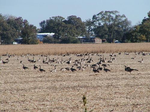 geese10-18-08northaurora