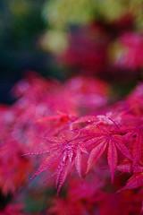 thawed (Skink74) Tags: uk morning pink autumn england 20d leaves garden geotagged maple dof bokeh hampshire acer hursley eos20d sunkengarden nikkor35f14 geo:lat=51025856 geo:lon=1400416 nikkor35mm114ai
