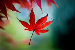 this is why they call it 'fall' (harold.lloyd) Tags: autumn red fall leaf bokeh fingers hanging 50mmf14 sbf bokehlicious ehbd hnff sadbokehfriday sadneresness
