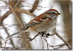 American Tree Sparrow (nature55) Tags: germantown birds wisconsin aves americantreesparrow nature55 mywinners mywinner