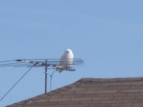 Snowy owl 020girardi