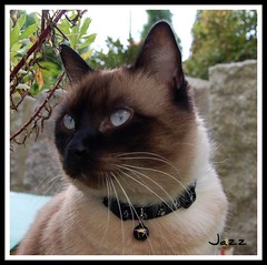 Mr. Whiskers (Gabbcan) Tags: cat kitten kat chat siamese gatos gato tonkinese siames gatto katzen gatti gatinho   siamesische jazzthecat bestofcats blueeyes gatoseneljardin ojosazules siamesibeautifulcat kotkatt gardencats catsandflowersoutdoorcat