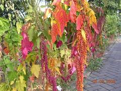 花色鮮艷的紅藜果穗。照片提供:林務局