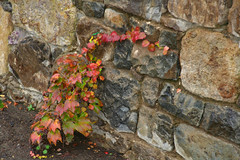 Climb it! (Maureen Bond) Tags: ca pink red orange green wet yellow misty stone cherry rocks colorful calistoga young magenta ivy vine explore climbing growth creeper literaryreference paololivornosfriends maureenbond