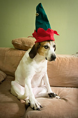 Holiday Nellie 2008 (John Cachero) Tags: christmas dog pets hat delete5 funny holidays hound american save10 nellie unhappy savedbythedeltemeuncensoredgroup foxhound bahhumbug dmu notstoked save11 save12 save13 save14 save15 viewonblack save16 thelitttledoglaughed