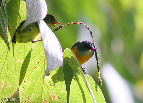 Sepah Puteri Dada Oren @ Orange-bellied Flowerpecker